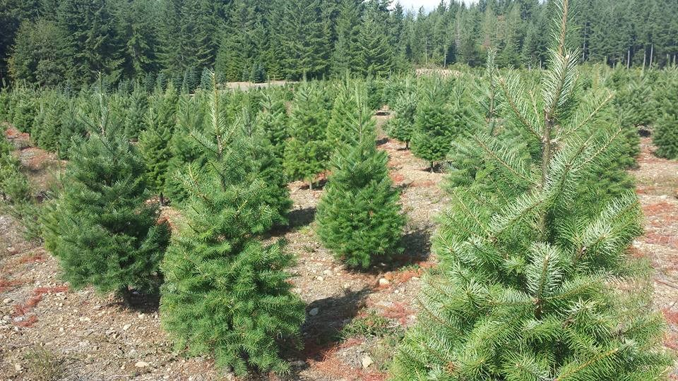 Hubert's Christmas Trees Christmas Tree Farm
