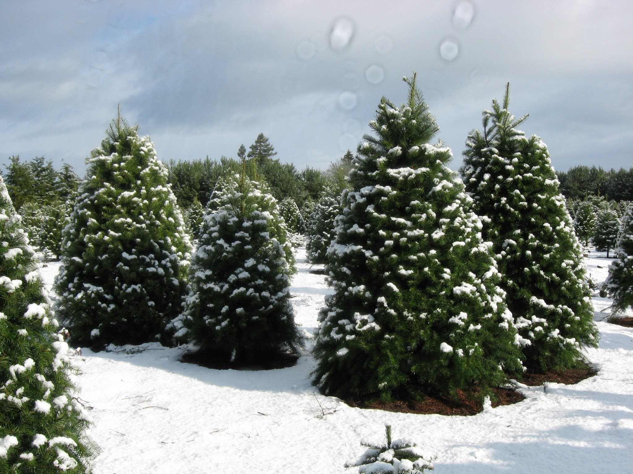 Larwick U-cut Christmas Tree Farm christmas tree farm   ChristmasTreeFarms.net