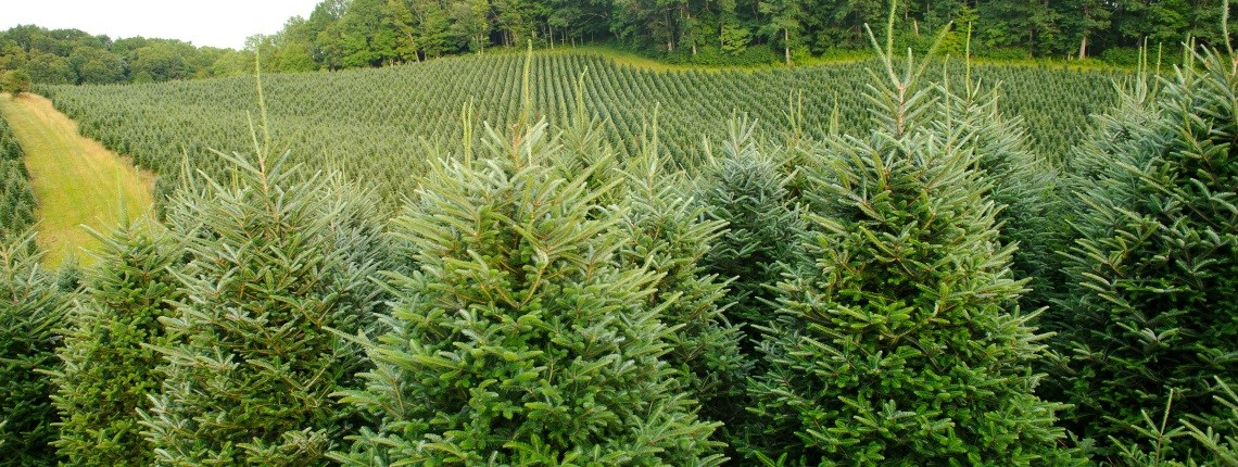 Christmas Tree Near Me.Cut Your Own Christmas Tree Near Me Buy Christmas Tree Near