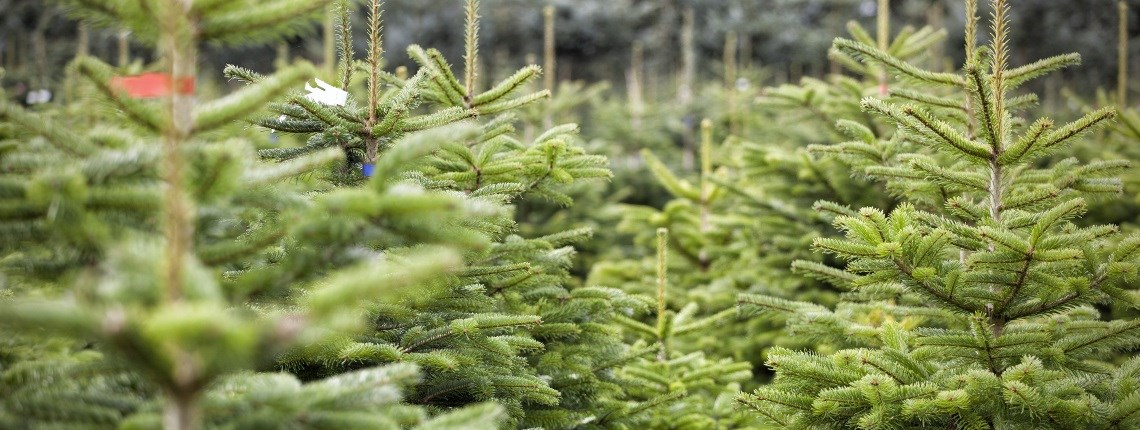 Cut your own Christmas tree near me. Buy Christmas tree near me. USA | ChristmasTreeFarms.net