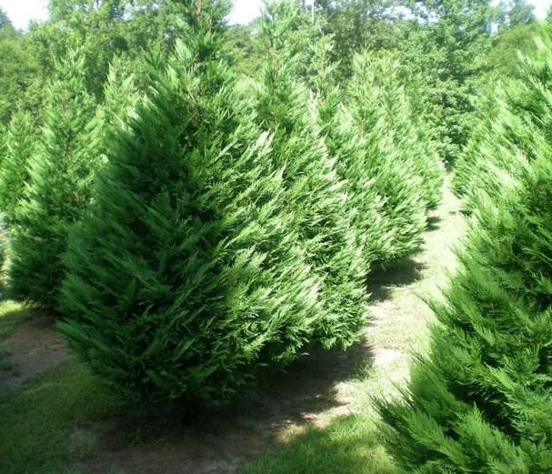Cut Your Own Christmas Tree York Pa: Mountain View Christmas Tree Farm Christmas Tree Farm