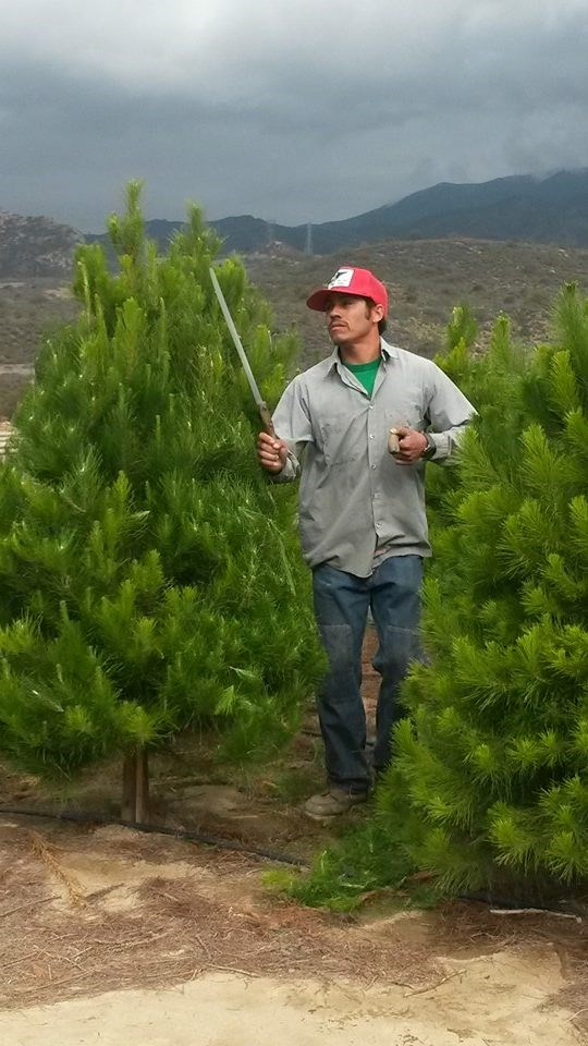 Cut Your Own Christmas Tree Tn