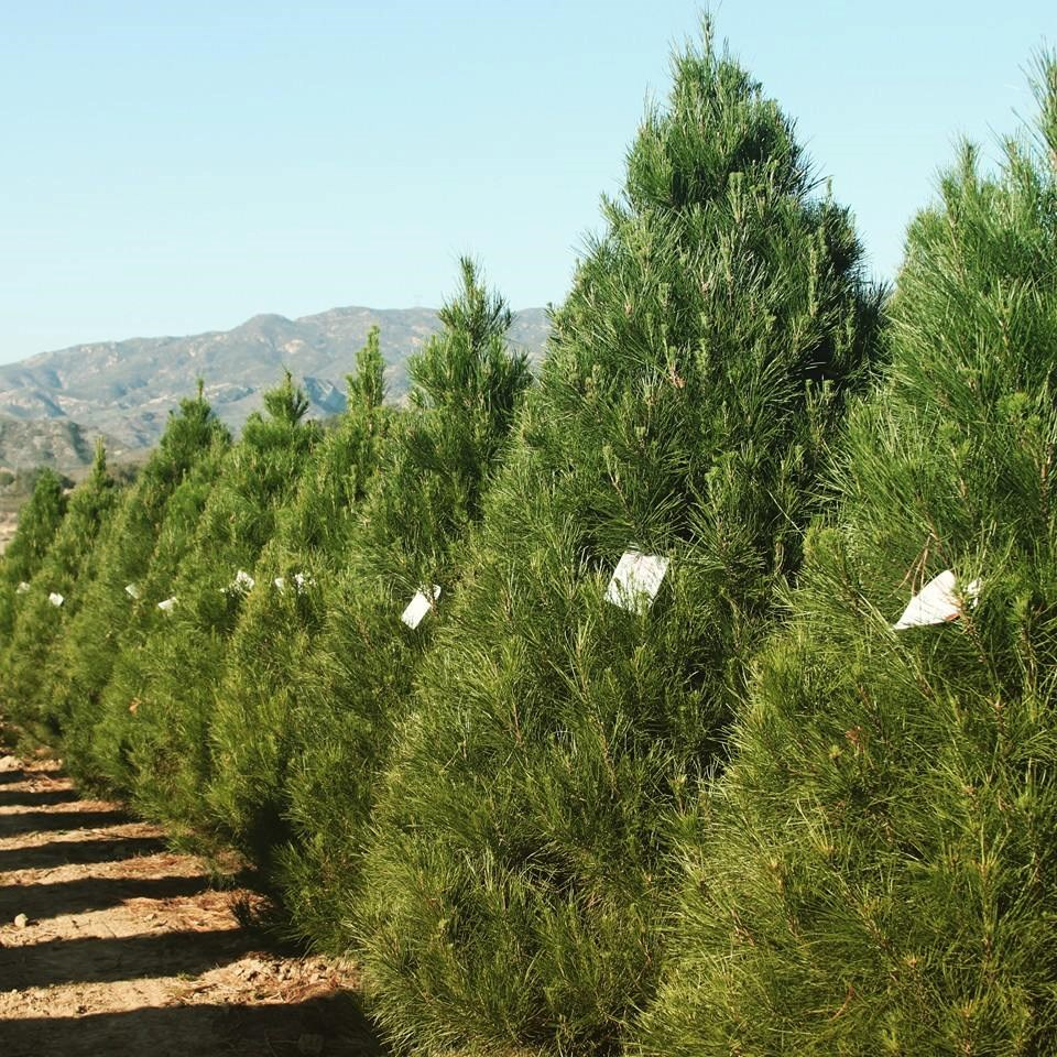 Christmas Tree Farm Southern California: Silverado Tree Farm Christmas Tree Farm
