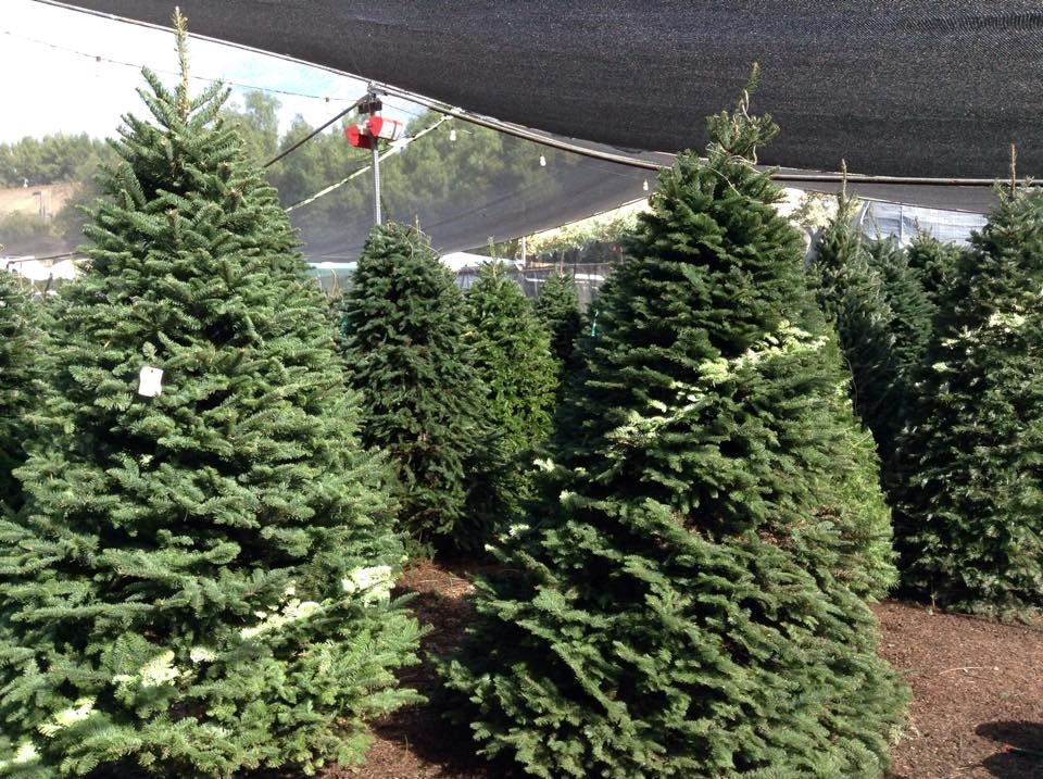 Christmas Tree Farms In Sc
