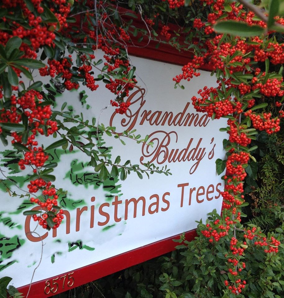 Cut Your Own Christmas Tree York Pa: Grandma Buddy's Christmas Trees Christmas Tree Farm