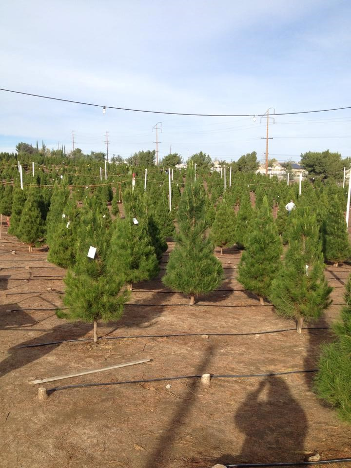 Christmas Tree Farms In Ohio