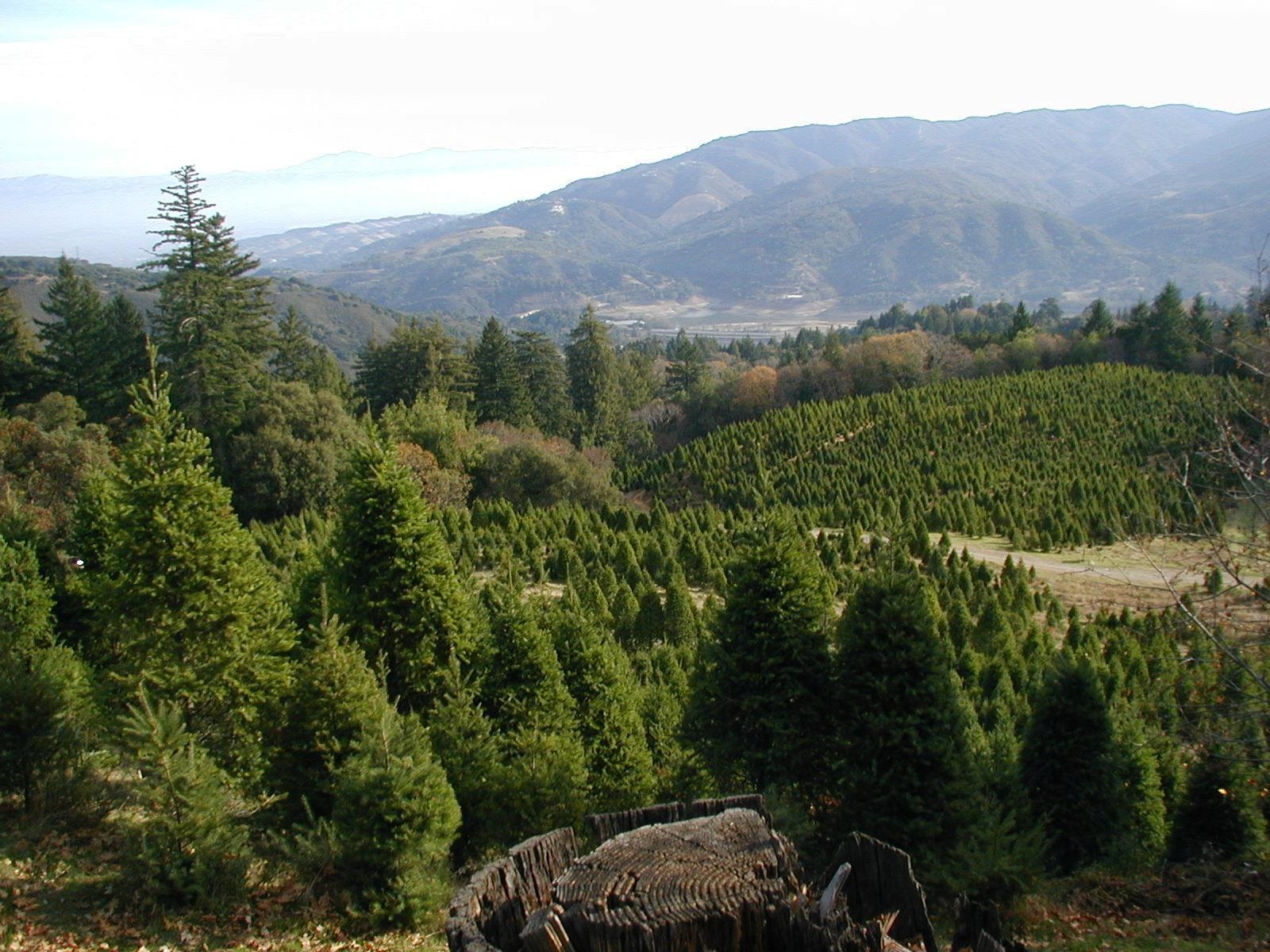 Lone Star Tree Farm christmas tree farm ...