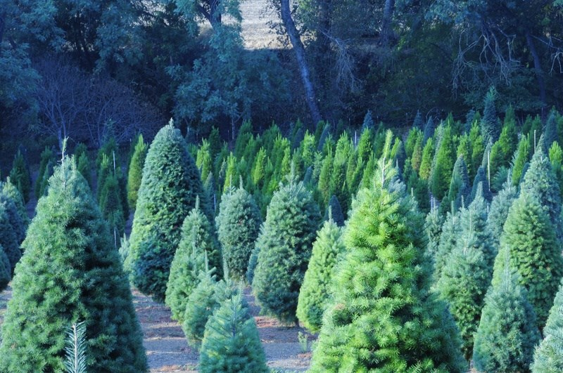 Paradise Christmas Tree Farm christmas tree farm ...