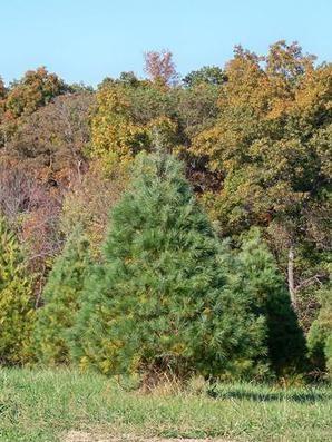 Alfeldt Brothers Farm LLC christmas tree farm ...