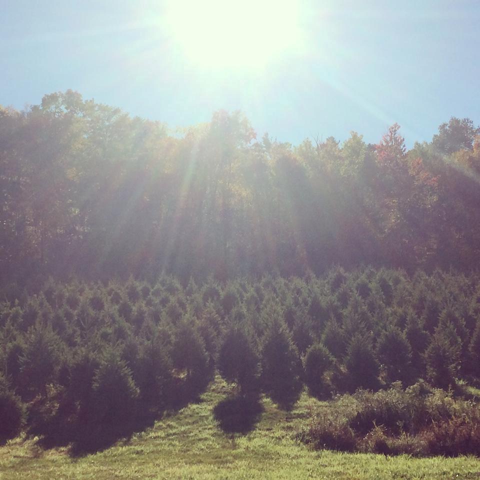 Cut Your Own Christmas Tree York Pa: Bennies Nurseries Inc. Christmas Tree Farm