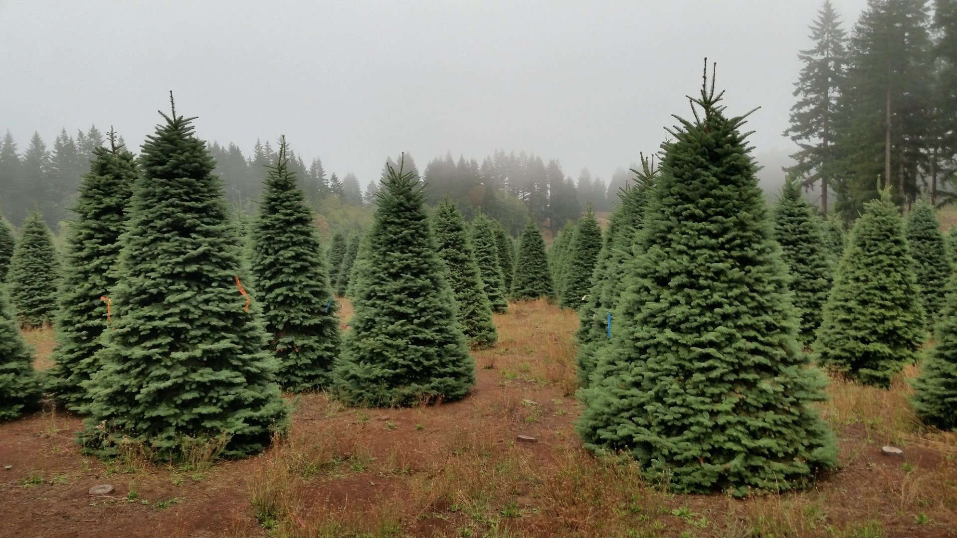 Christmas Tree House - Costa Mesa christmas tree farm ...
