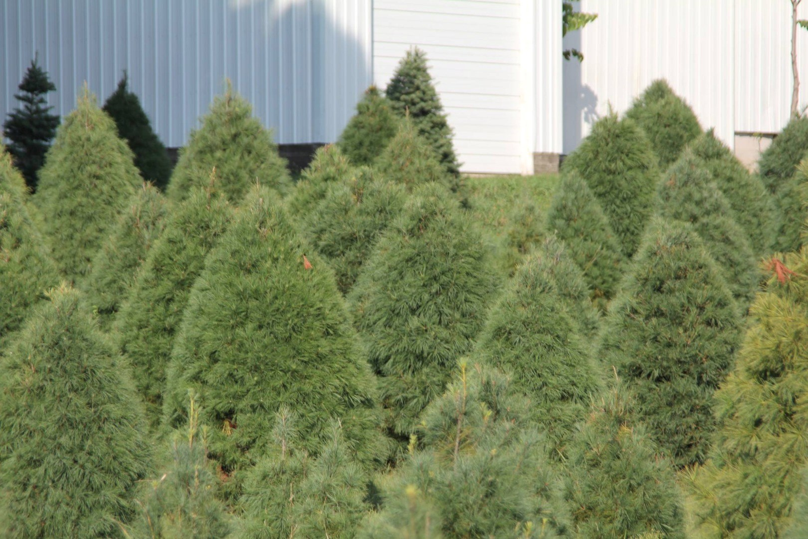 Bishop's Tree Farm christmas tree farm ...