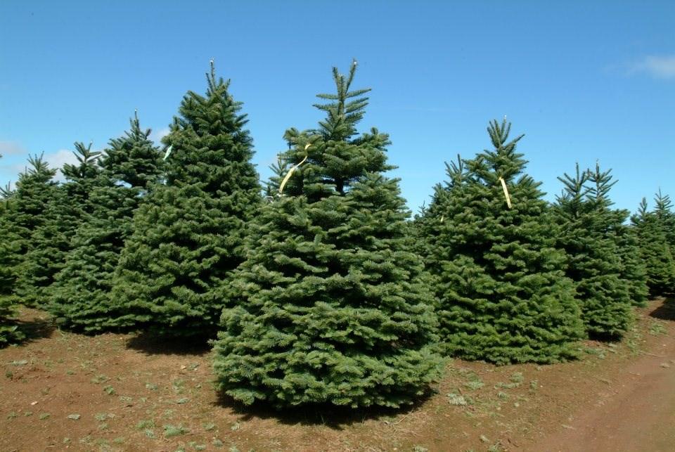 Oregon Christmas Tree Farms
