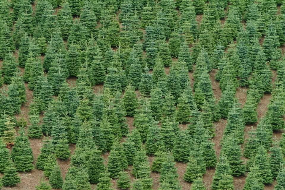 Maryland Christmas Tree Farms
