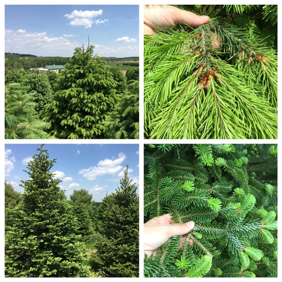Cut Your Own Christmas Tree York Pa: Family Tree Farm Christmas Tree Farm