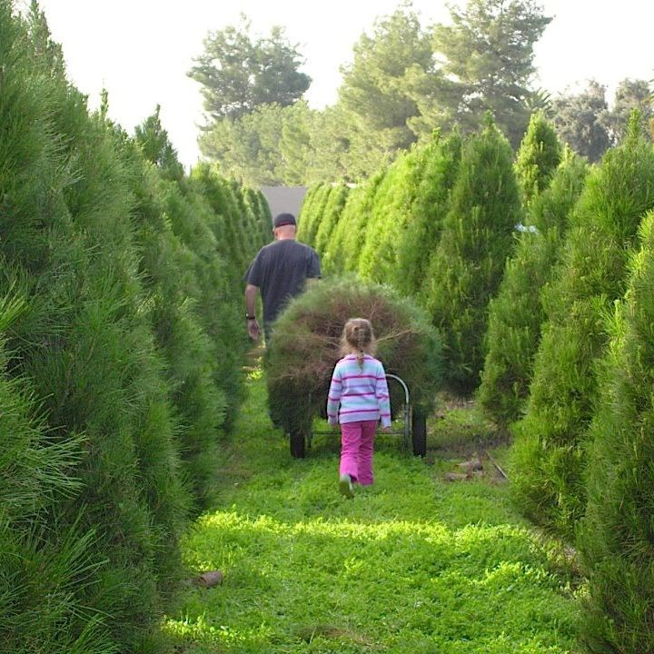 Christmas Tree Farm Southern California: Santee Christmas Tree Farm