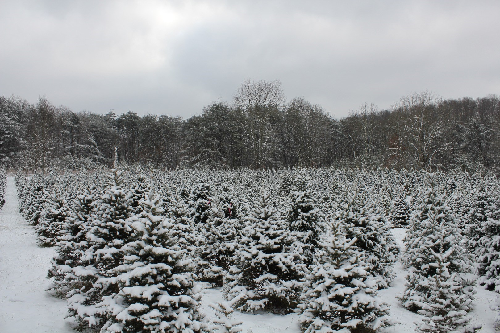 Apsley Family Christmas Trees Christmas Tree Farm