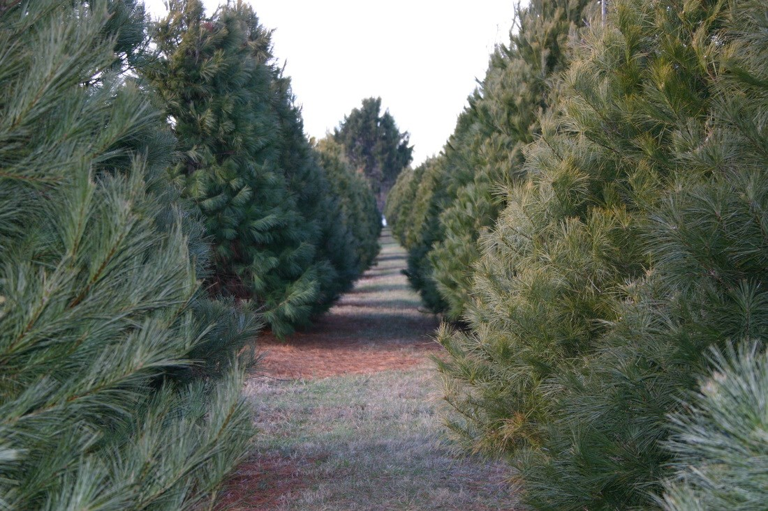 Double M Tree Farm Christmas Tree Farm