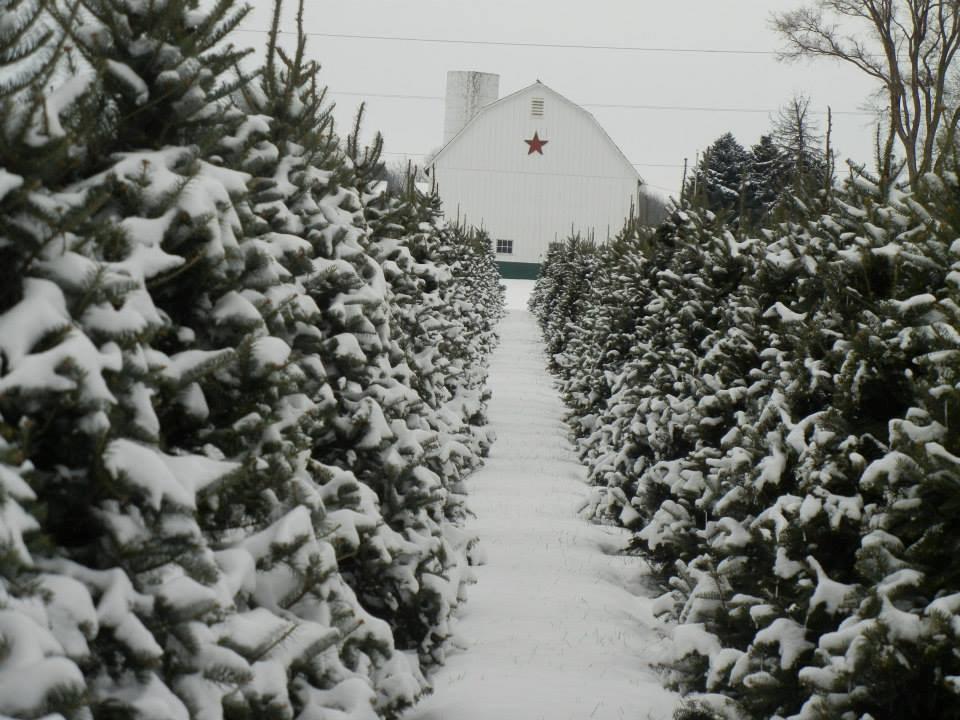 Christmas Tree Farms In Rhode Island