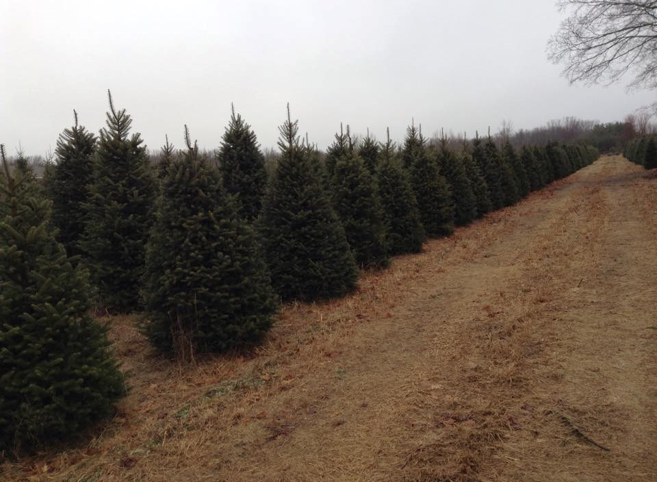 Christmas Tree Farms Ny