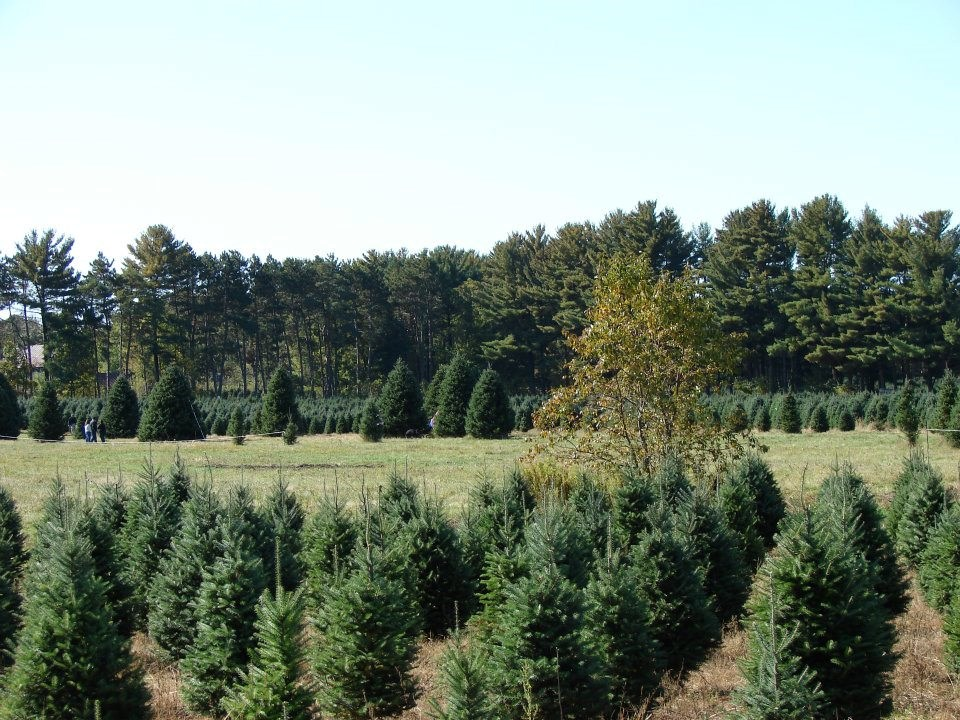 Christmas Tree Farm Massachusetts