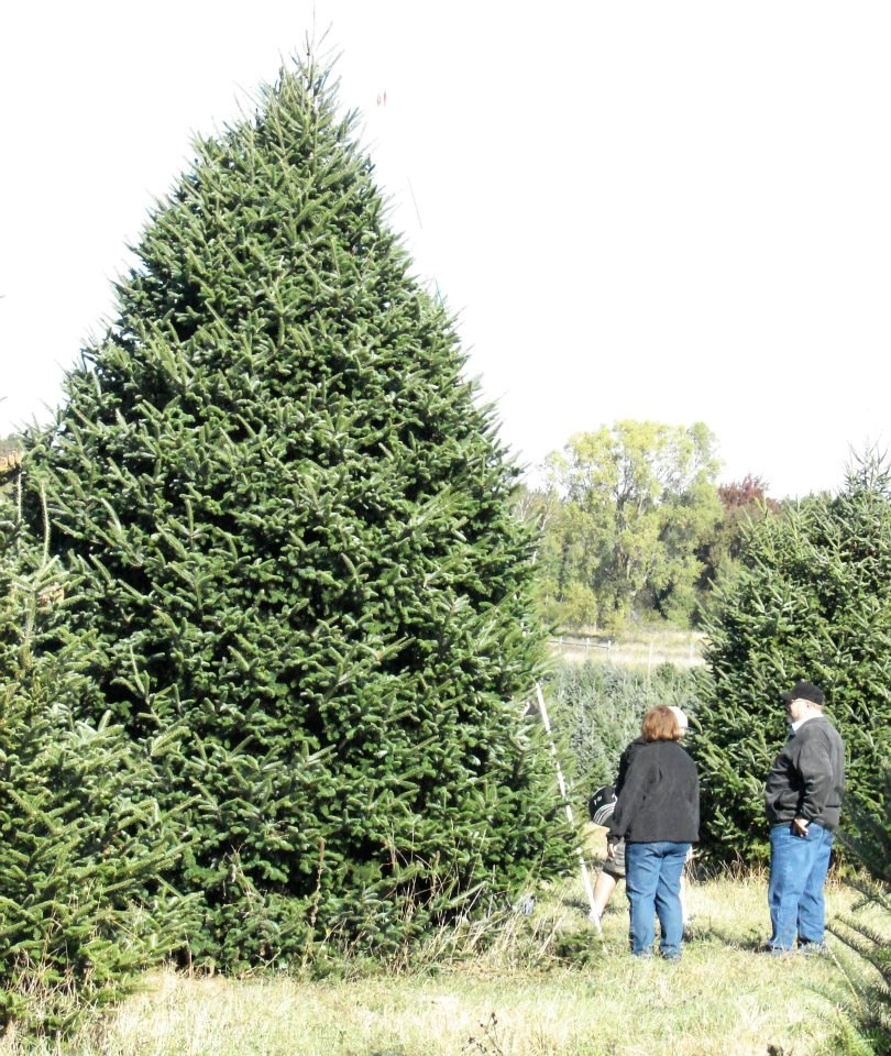 Westfield Christmas Tree Farm: Schroeder's Forevergreens, Cut Your Own Christmas Tree