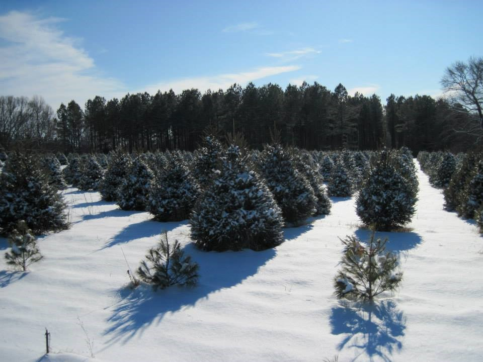 Claybrooke Farm Christmas Trees Christmas Tree Farm