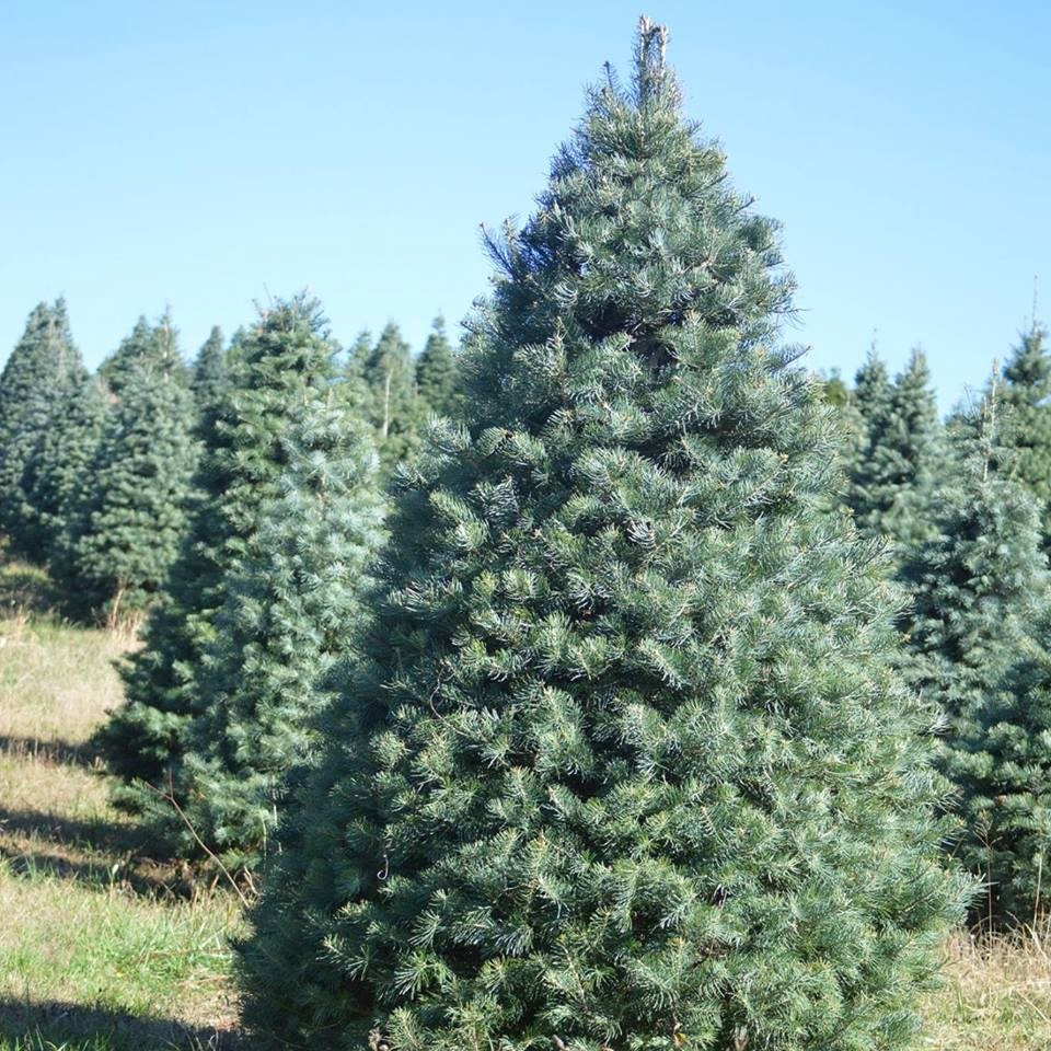 Cut Your Own Christmas Tree York Pa: State Park Tree Farm Christmas Tree Farm