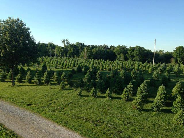 Fort Osage Christmas Trees christmas tree farm ...