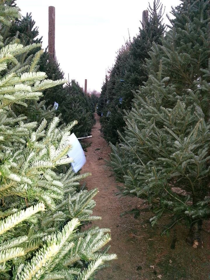 Christmas Tree Farms Ma