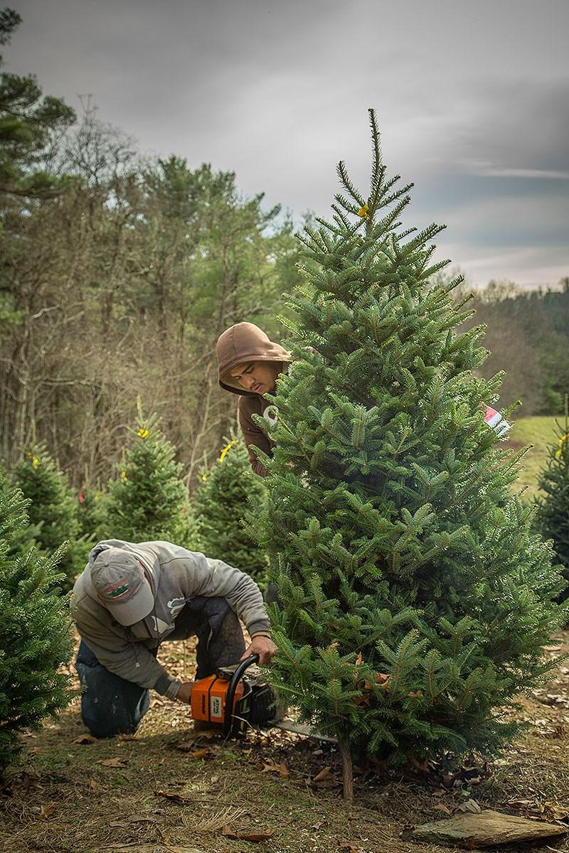 Lil' Grandfather Choose & Cut christmas tree farm | ChristmasTreeFarms.net