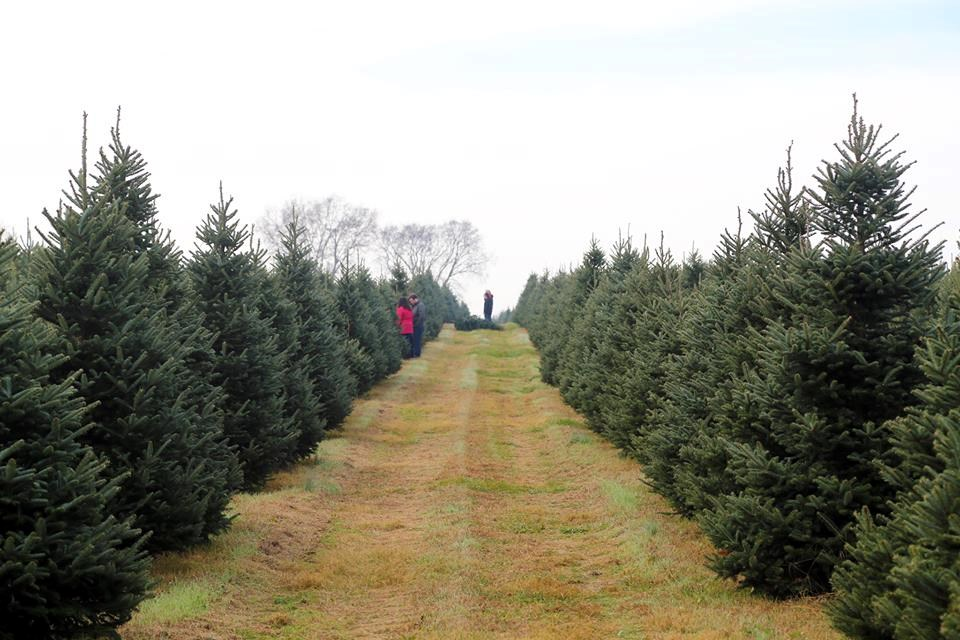 Mayne Tree Farm christmas tree farm | ChristmasTreeFarms.net