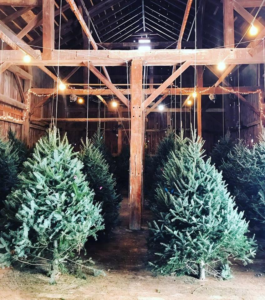 Cut Your Own Christmas Tree York Pa: Critz Farms Christmas Tree Farm