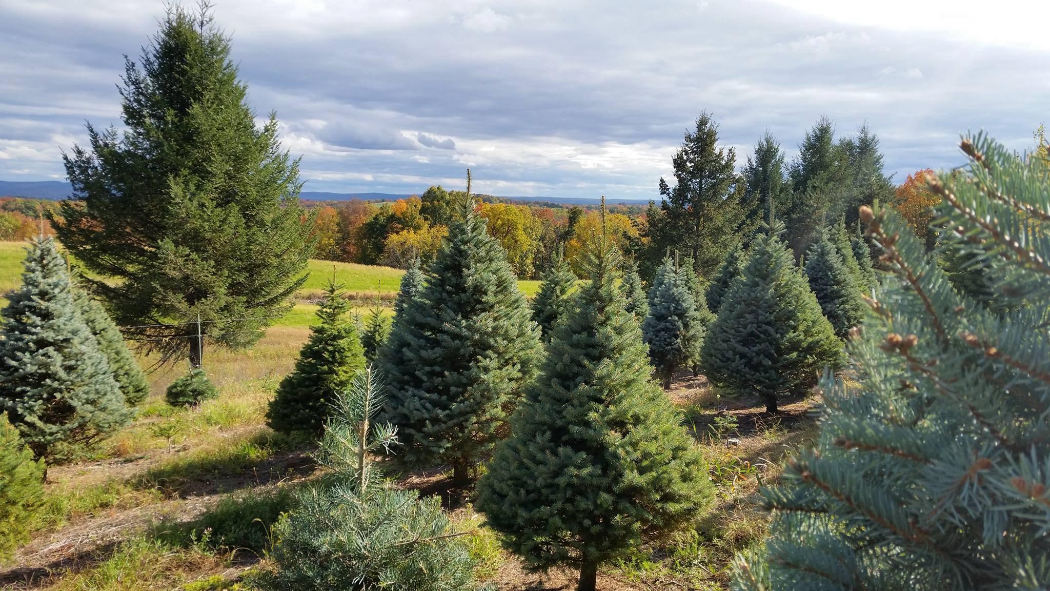 Sunny Hill Farm christmas tree farm | ChristmasTreeFarms.net