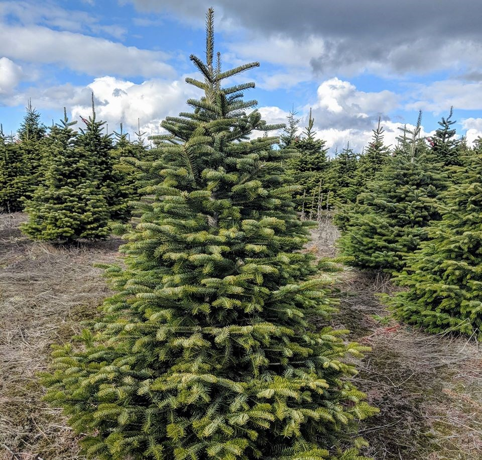 Cut Your Own Christmas Tree York Pa: Rusty Gate Tree Farm Christmas Tree Farm