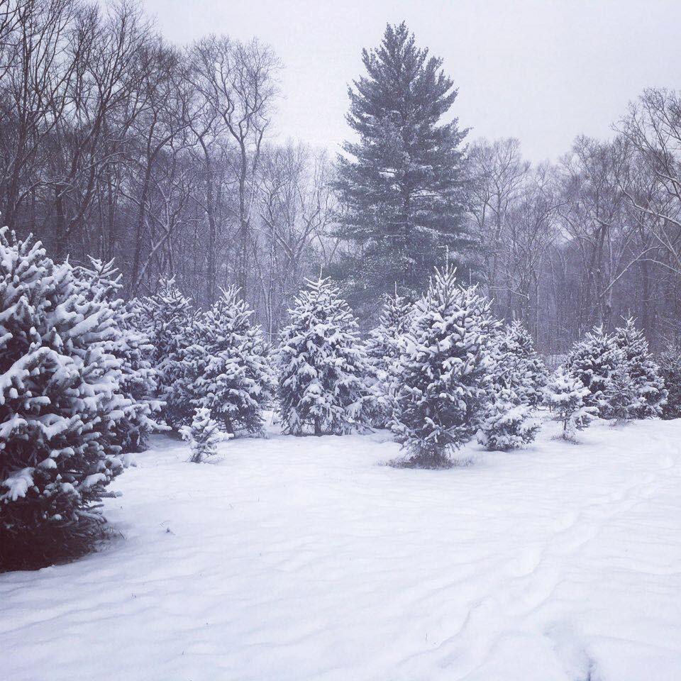 Cut Your Own Christmas Tree York Pa: Hazen Christmas Tree Farm Christmas Tree Farm