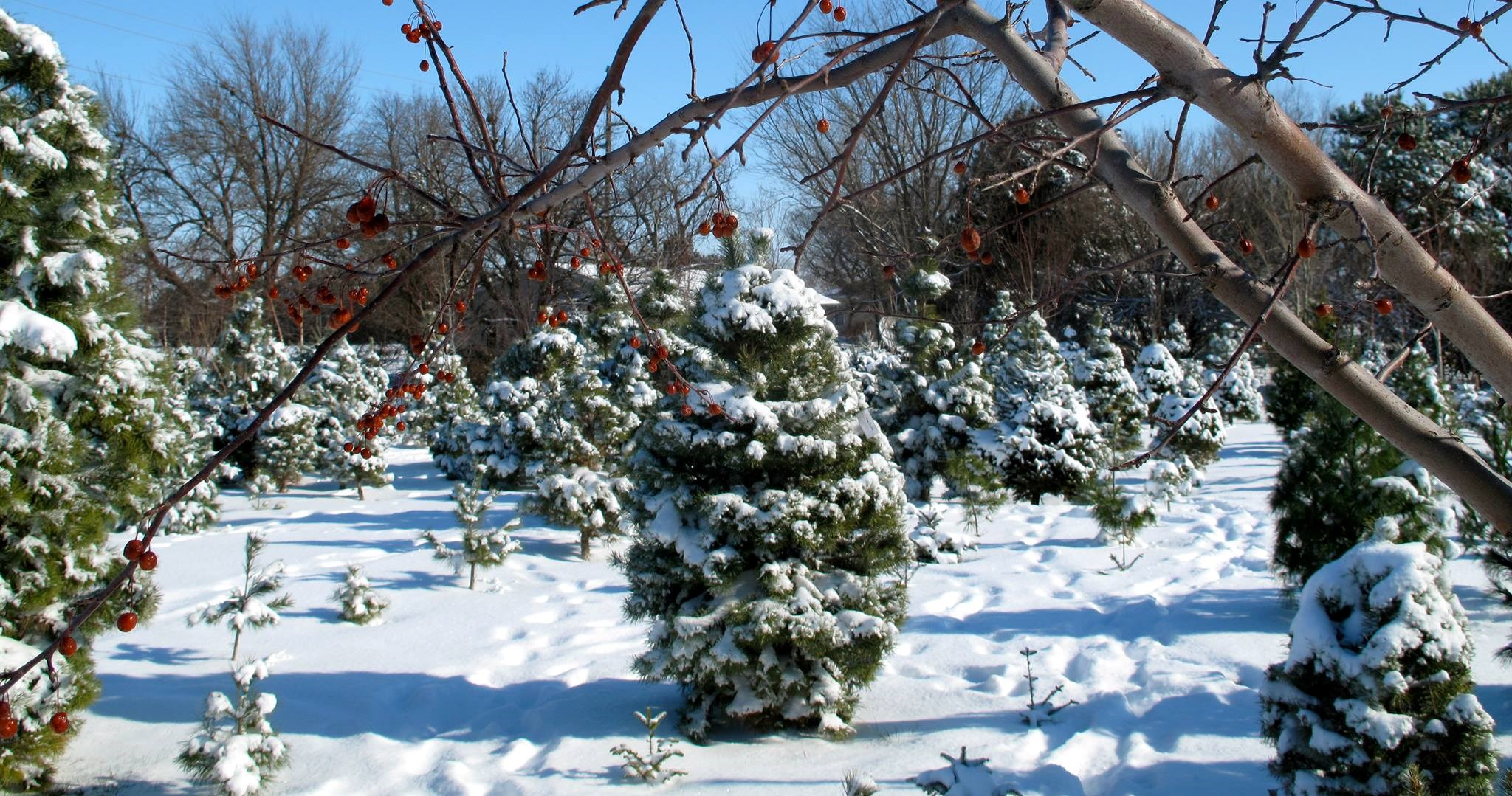 Pine Patch Tree Farm christmas tree farm ...