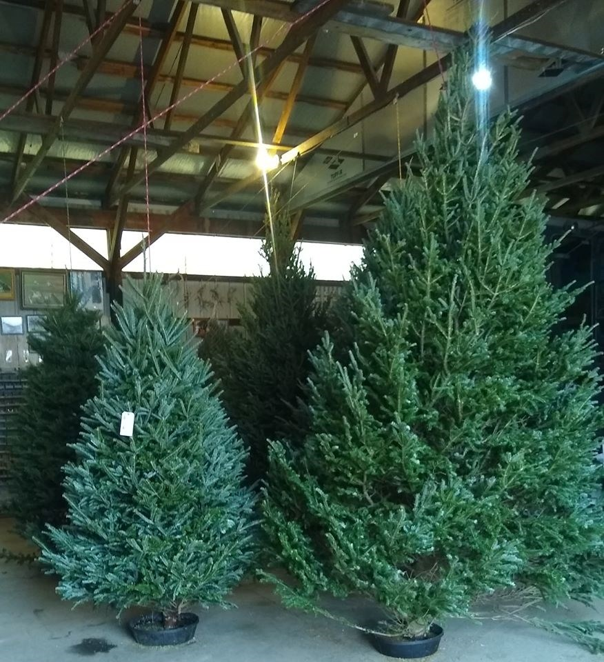 Cut Your Own Christmas Tree York Pa: Scioto Prairie Farms Christmas Tree Farm